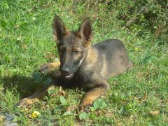 chiots bergers allemands disponibles